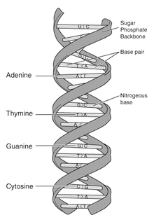 File:DNA-structure-and-bases